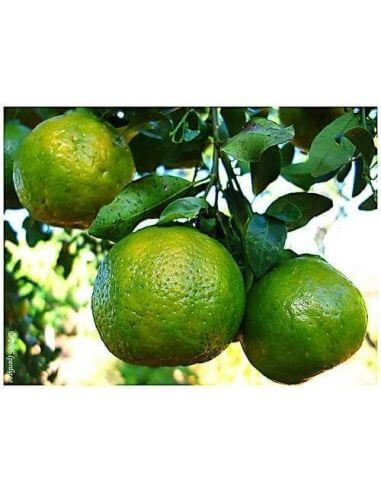 Green Mandarin Essential Oil (Brazil)