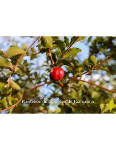 Acérola POUDRE 500g Malphighia punicifolia Pure et Bio