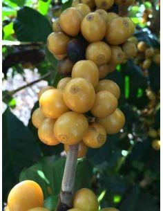 Café amarelho bourbon Cambraia sur son arbre, Cerise de Café Brésil