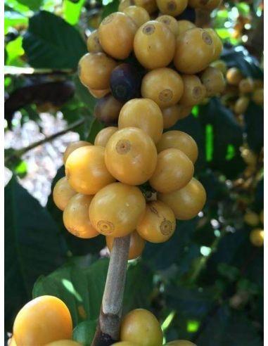 Café Grains Orum Amarelo Bourbon...