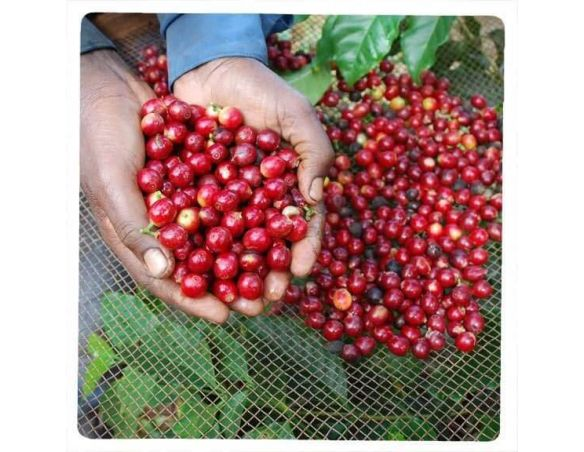 Récolte du café rubio dans le minas gerais brésil