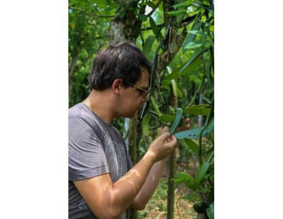 Plantation de gousse de vanille