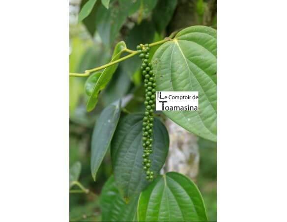 Green pepper on the pepper tree