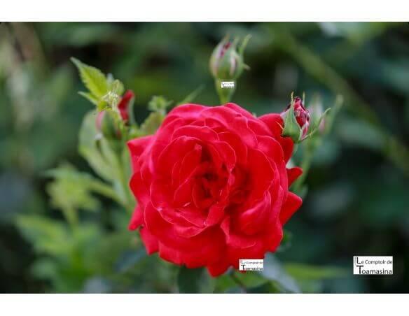 Extrait d'eau de rose naturelle