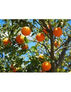 eau de fleur d'oranger-arôme de fleur d'oranger-100% naturel-Marocaine