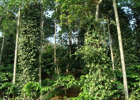 Pepper plantation in Madagascar. Buy pepper online