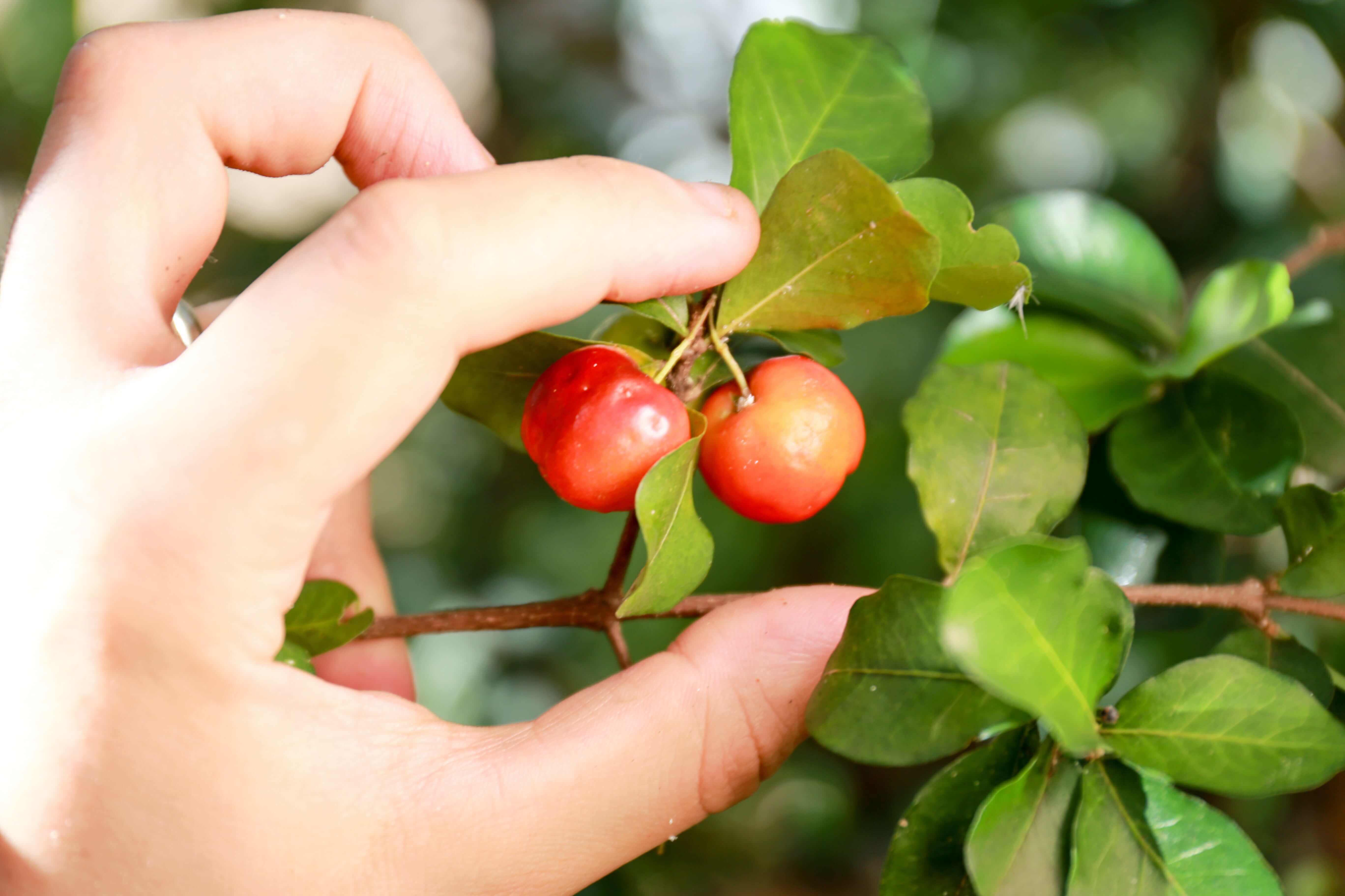 Acerola bio poudre 100% naturel, plantation comptoir de toamasina