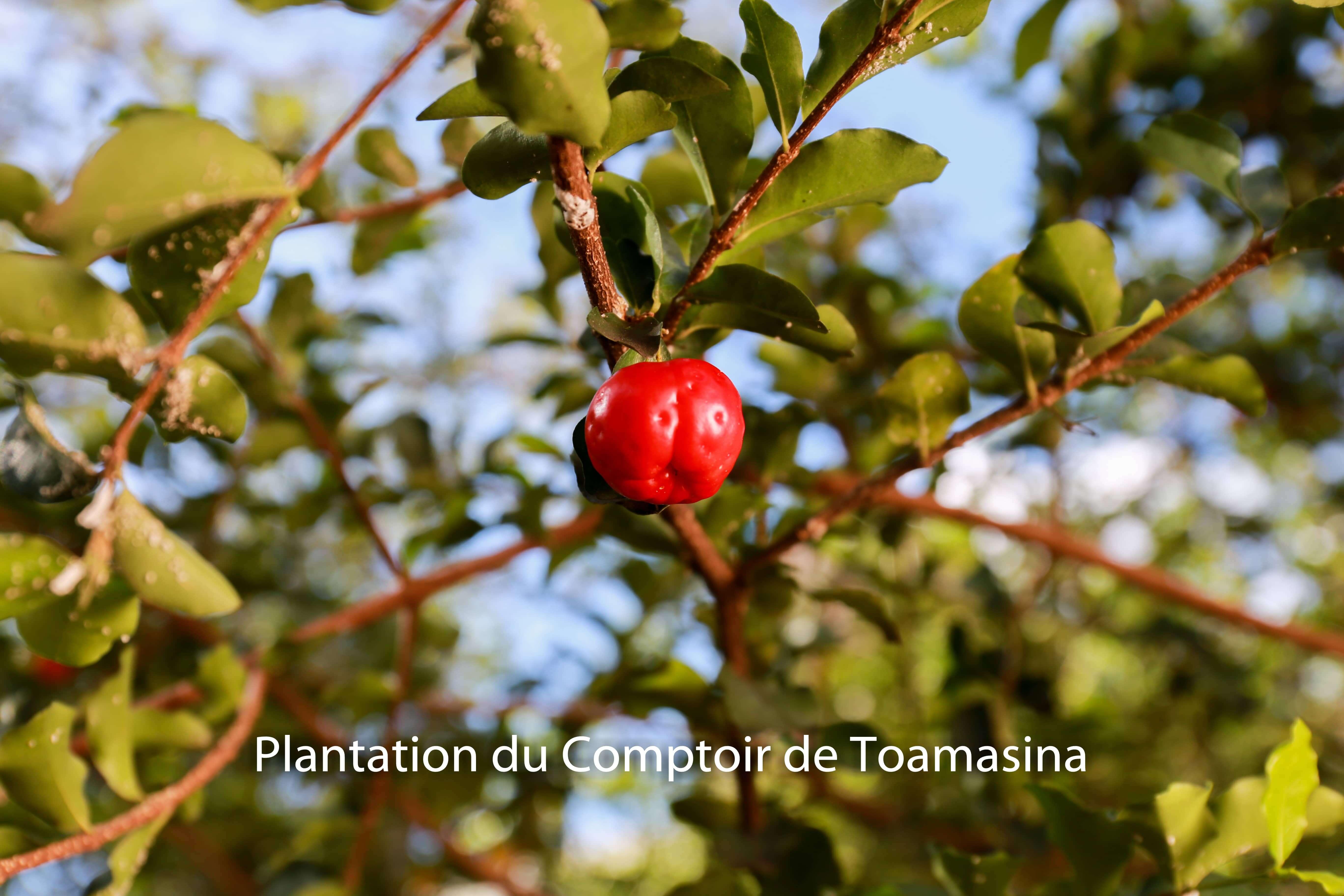 Cerise Acérola dans notre plantation dans le Minas gerais