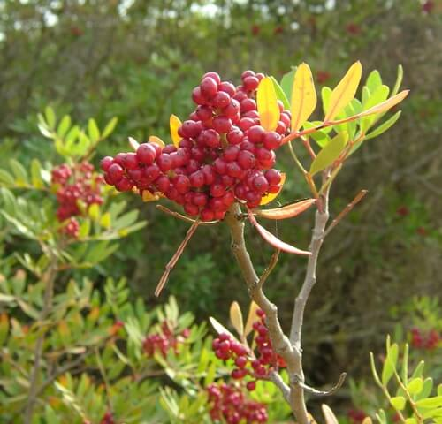 How to grow the pink berry to grow an aroeira