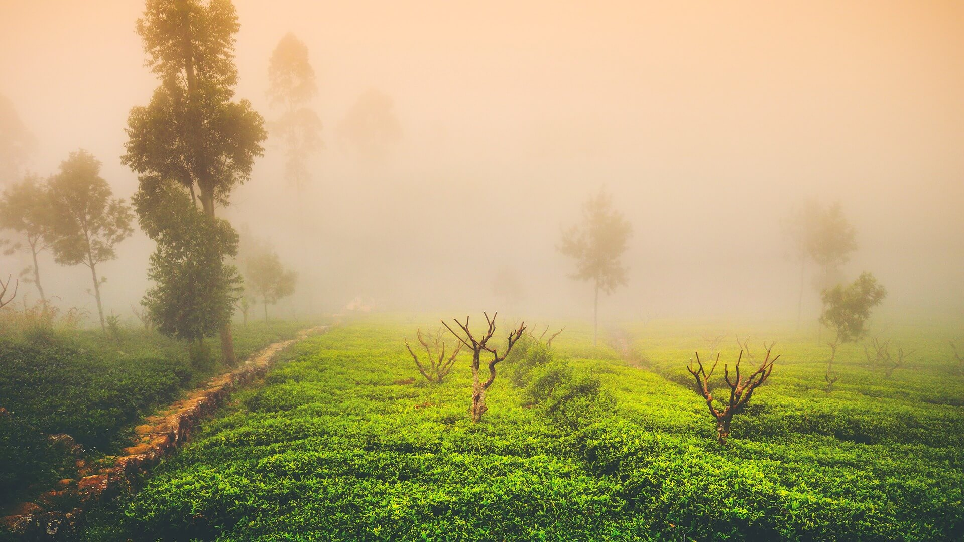 Jardin de thé, dans le brouillard