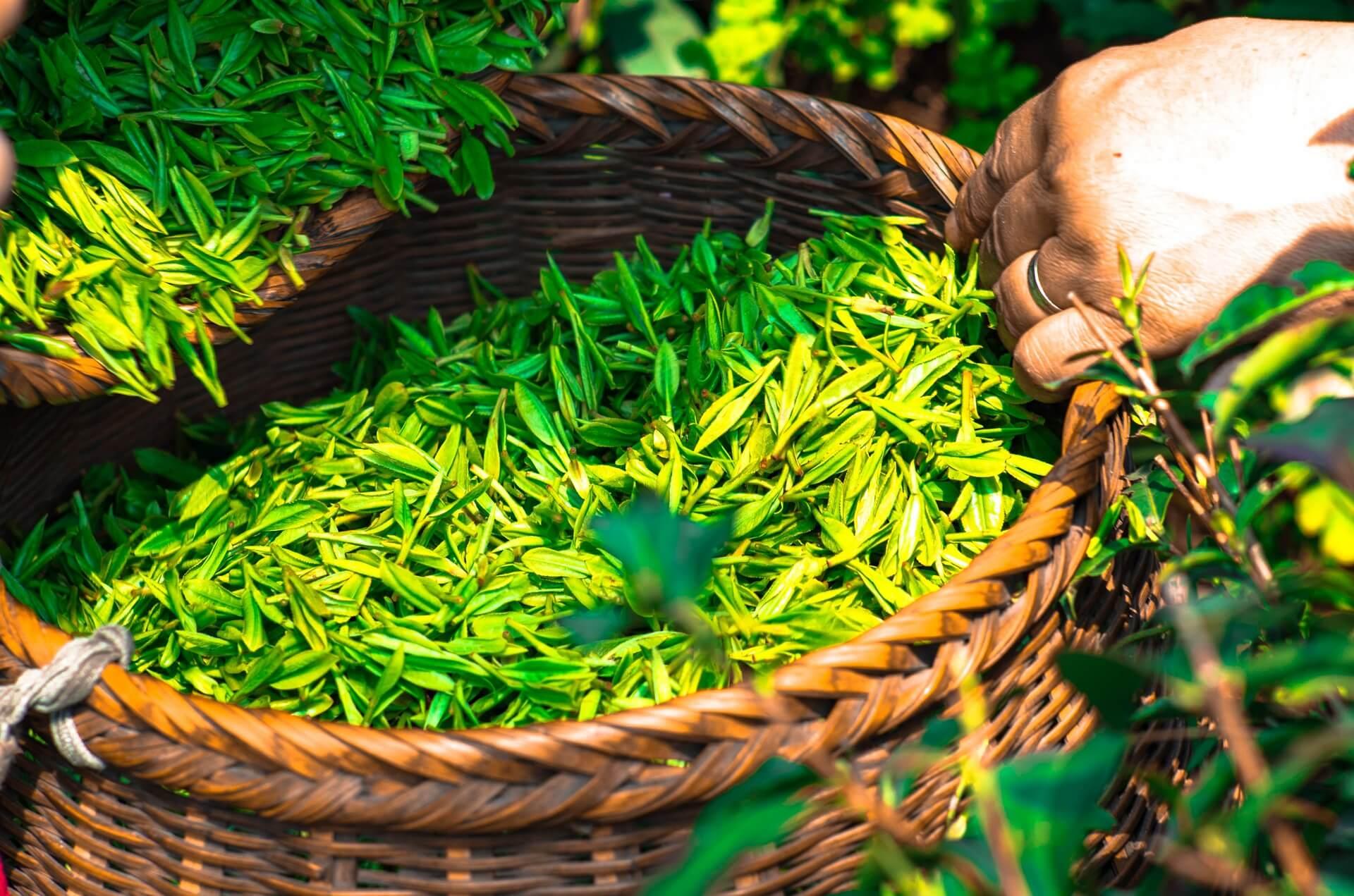 Chá verde logo após a colheita