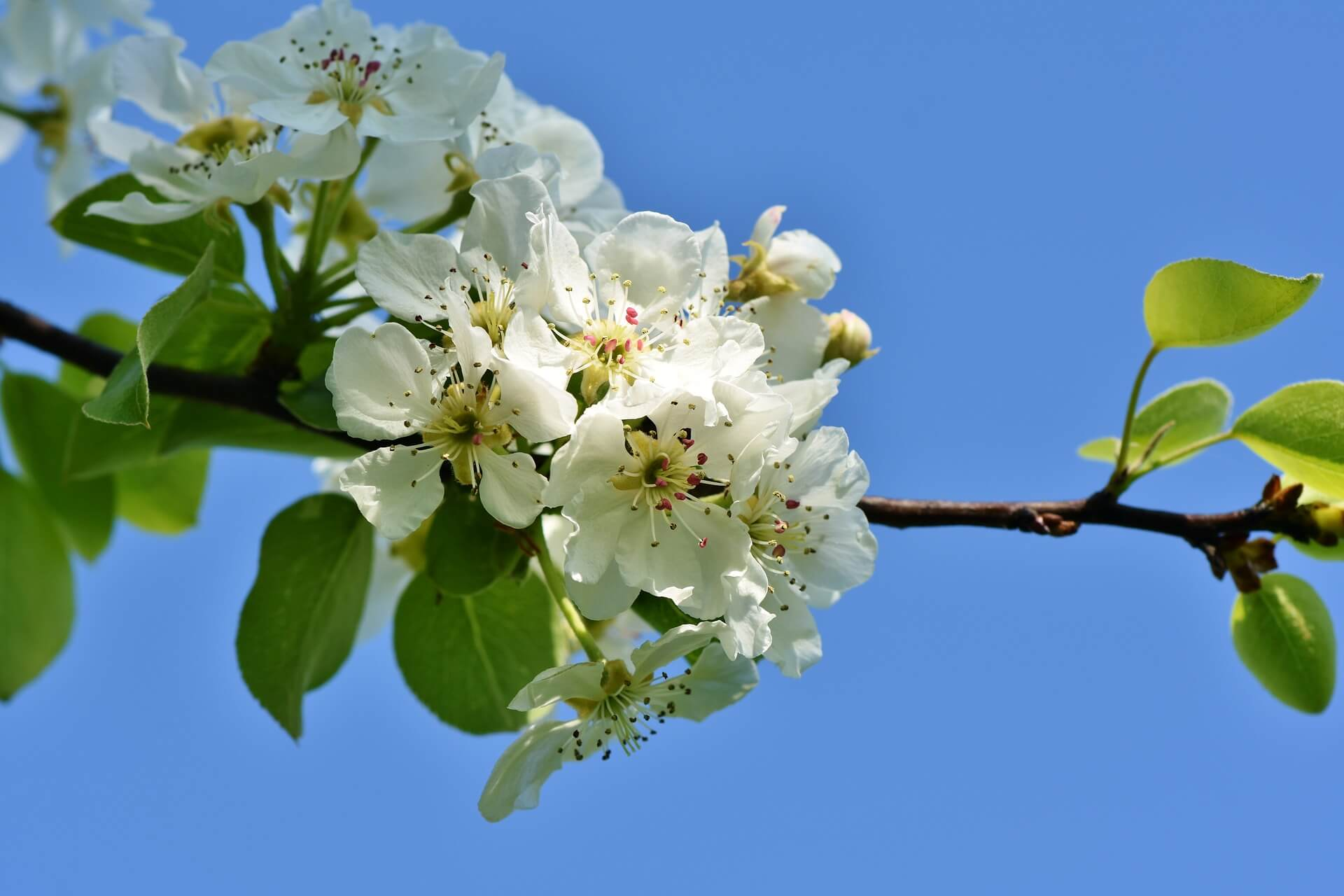 Fleur doranger/Fleur doranger à pâtisserie, eau florale fleur d'oranger alimentaire