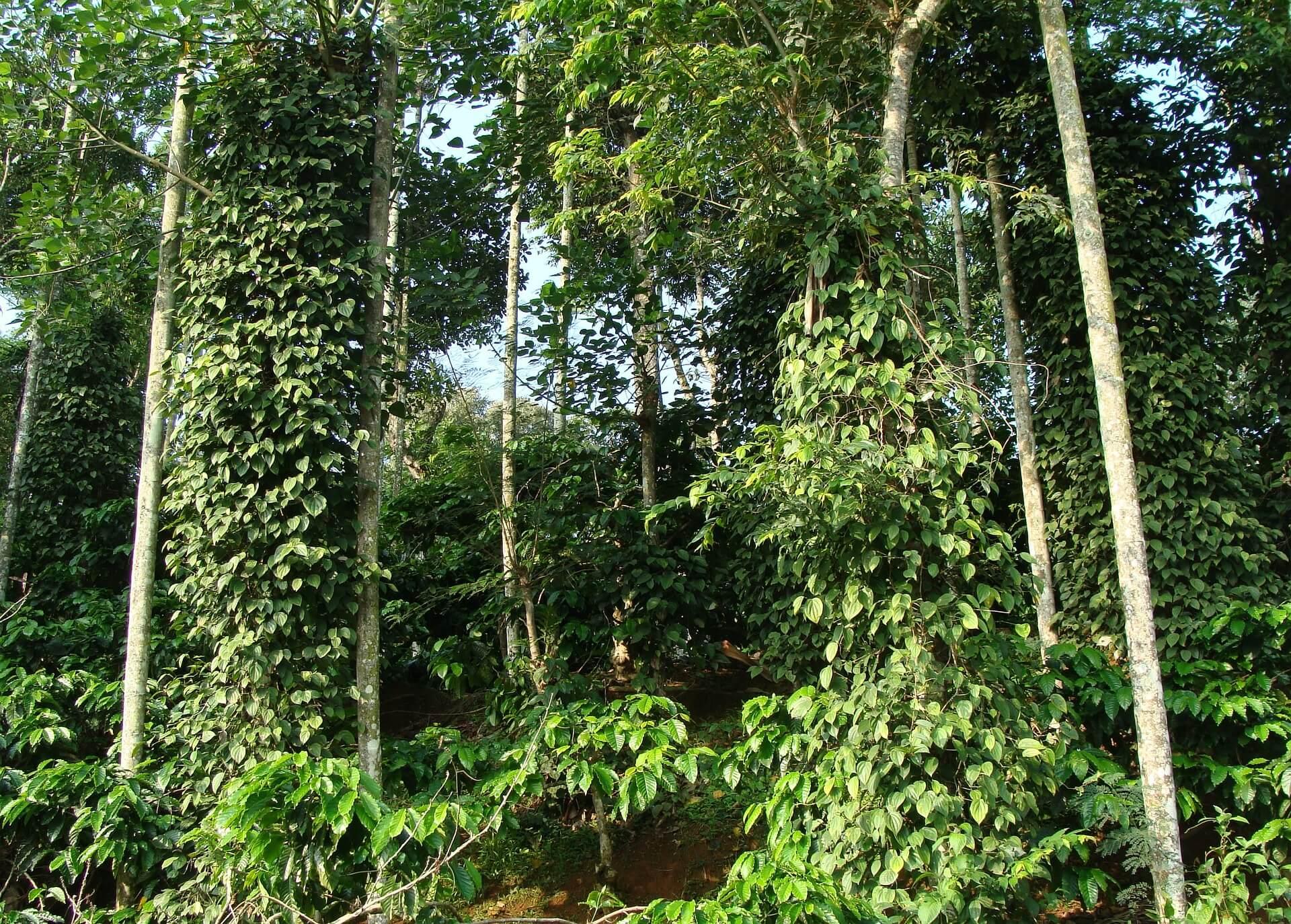 Plantation de poivre noir direct producteur