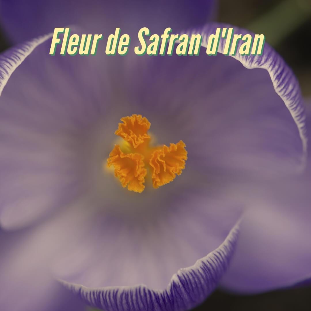 Fleur de Safran d'Iran