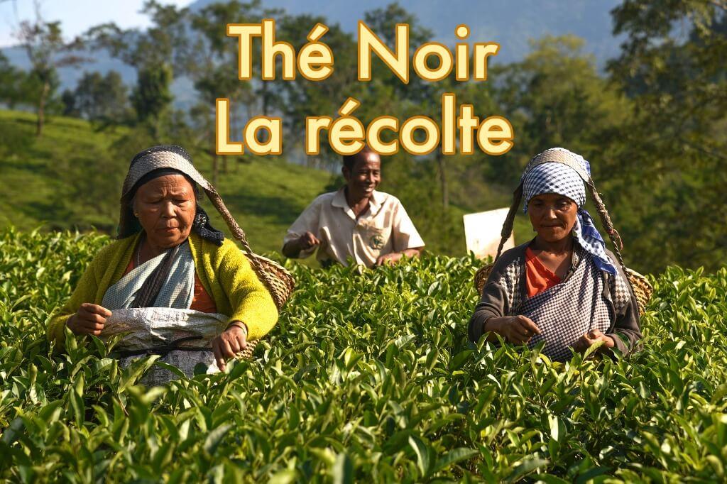 La récolte du Thé Noir, Acheter du thé noir en ligne au meilleur prix